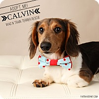 Adopt A Pet :: Calvin-Pending Adoption - Omaha, NE