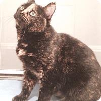 Domestic Shorthair Cat for adoption in Brooklyn, New York - Angel