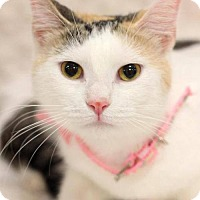 Calico Cat for adoption in knoxville, Tennessee - Shasta Female (Sponsored FREE)