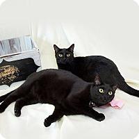 Adopt A Pet :: Midnight - Schererville, IN
