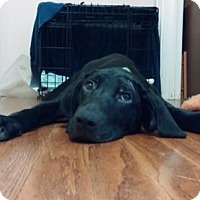 Adopt A Pet :: Dakota - Dallas, TX