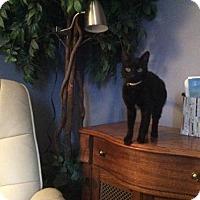 Adopt A Pet :: Jibril Mini Cat - Norwalk, CT