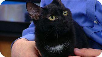 Domestic Shorthair Kitten for adoption in Richmond, Virginia - Ethel