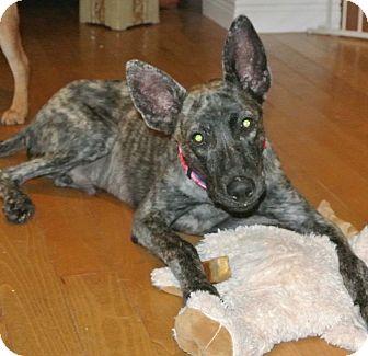 Blue Heeler Mix Puppy for adoption in Surrey, British Columbia - Jaimie