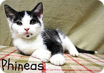 Domestic Shorthair Kitten for adoption in Taylor Mill, Kentucky - Phineas-Kitten born Sept!