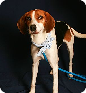 Coonhound (Unknown Type)/Hound (Unknown Type) Mix Dog for adoption in Toms River, New Jersey - Missy