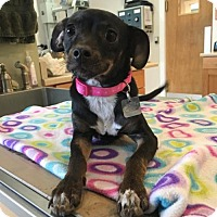Miniature Pinscher Mix Puppy for adoption in Westminster, Colorado - Missy
