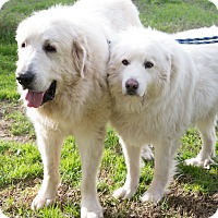 Great Pyrenees Dog for adoption in Granite Bay, California - GANNON & GABLE