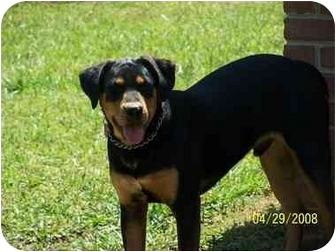 Rocky | Adopted Dog | York, SC | Rottweiler/Black and Tan ...