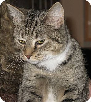 Domestic Shorthair Cat for adoption in Sinking Spring, Pennsylvania - Angel