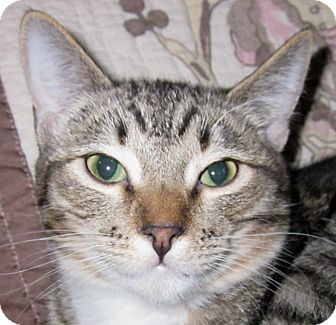 Domestic Shorthair Cat for adoption in Winchester, California - Teton