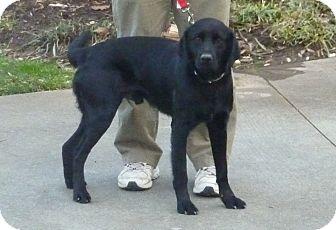 Labrador Retriever Dog for adoption in Raleigh, North Carolina - JONAH