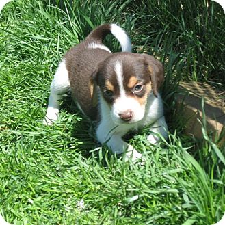 Beagle Mix Puppy for adoption in Novi, Michigan - Plushy