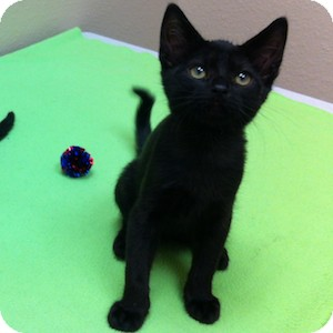 Domestic Shorthair Kitten for adoption in Gilbert, Arizona - West