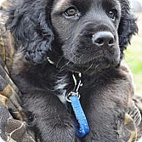 Adopt A Pet :: *Reeses - PENDING - Westport, CT