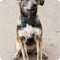 Adopt A Pet :: Koola - Portland, OR