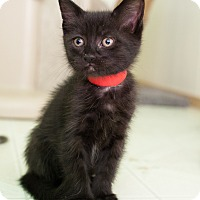 Adopt A Pet :: Latice - Shelton, WA