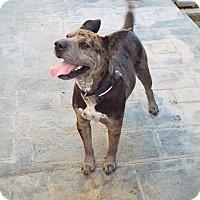 Adopt A Pet :: Callie - Mira Loma, CA