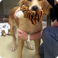 Adopt A Pet :: Whisper - Cheshire, CT