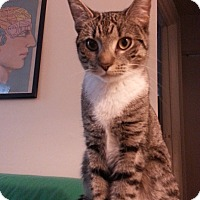 Domestic Shorthair Cat for adoption in New York, New York - Dory