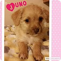 Adopt A Pet :: Juno - Brea, CA
