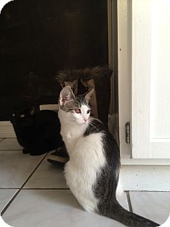 Domestic Mediumhair Cat for adoption in Warren, Michigan - Tilley (bonded w/Lucy)