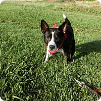 Boston Terrier/Border Collie Mix Dog for adoption in MC KENZIE, Tennessee - Jack