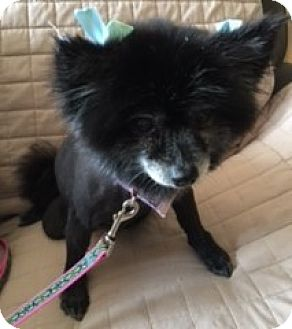 Pomeranian Dog for adoption in Centerville, Tennessee - Lexi