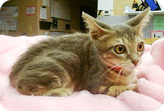 Domestic Shorthair Kitten for adoption in Lauderhill, Florida - Bananas