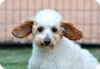 Toy Poodle/Labrador Retriever Mix Dog for adoption in Colorado Springs, Colorado - Jerry