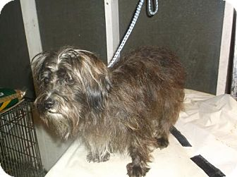 Wheaten Terrier/Poodle (Miniature) Mix Dog for adoption in Bonifay, Florida - Cinders