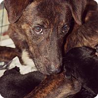 Labrador Retriever/Hound (Unknown Type) Mix Dog for adoption in Fredericksburg, Virginia - Grace
