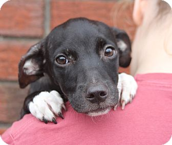 Labrador Retriever Mix Puppy for adoption in Harrison, New York - Oscar