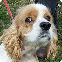 Cocker Spaniel Dog for adoption in Lexington, Kentucky - Gracie
