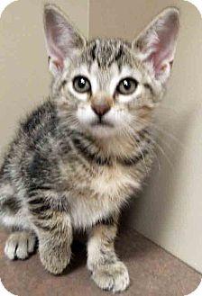 Domestic Shorthair Kitten for adoption in Oswego, Illinois - ADOPTED!!!   Erica