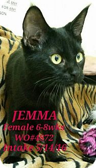 Domestic Shorthair Kitten for adoption in Fayetteville, West Virginia - Jemma