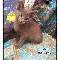 Adopt A Pet :: EL JEFE - Conroe, TX