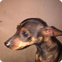 Adopt A Pet :: A410504 - San Antonio, TX