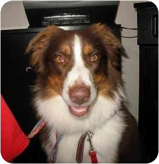 Australian Shepherd Dog for adoption in Orlando, Florida - Alladin