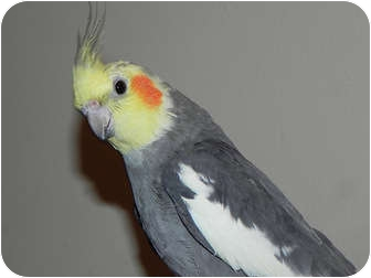 Cockatiel for adoption in St. Louis, Missouri - Spike
