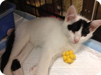 Domestic Shorthair Kitten for adoption in Fort Lauderdale, Florida - Zora