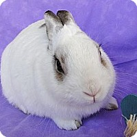 Dwarf Hotot Mix for adoption in Los Angeles, California - Berlioz