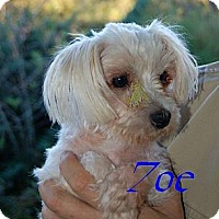 Maltese Dog for adoption in Chattanooga, Tennessee - Zoe (GA)