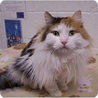 Adopt A Pet :: Sweetpea - Colorado Springs, CO