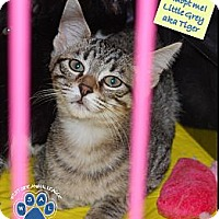 Adopt A Pet :: Macy's Little Grey aka Tiger - White Settlement, TX