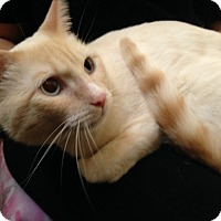 Adopt A Pet :: Ivory-Snuggly/Playful - Arlington, VA
