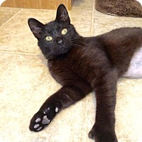Adopt A Pet :: Simone-XTRA TOES - East Brunswick, NJ