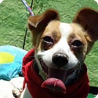Adopt A Pet :: Harley - Vacaville, CA