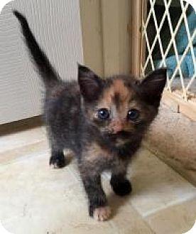 Calico Kitten for adoption in Smyrna, Georgia - Moxie