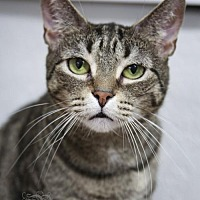 Domestic Shorthair Cat for adoption in Pendleton, New York - Marlow